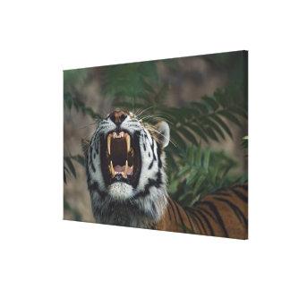 Siberian Tiger (Panthera Tigris) Bares Fangs Canvas Print