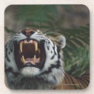 Siberian Tiger (Panthera Tigris) Bares Fangs Beverage Coasters