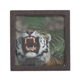 Siberian Tiger (Panthera Tigris) Bares Fangs Jewelry Box