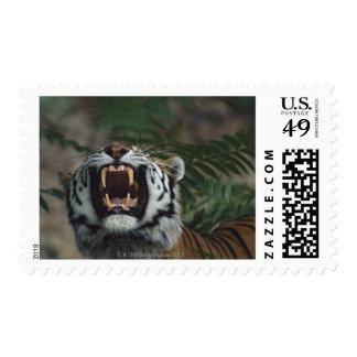 Siberian Tiger (Panthera Tigris) Bares Fangs Postage