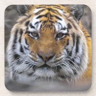 Siberian Tiger Photograph Drink Coaster