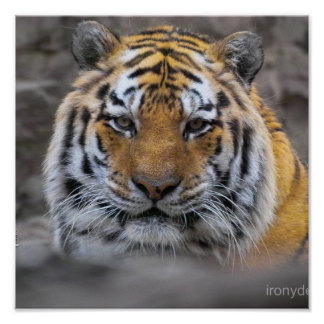 Siberian Tiger Photograph Poster