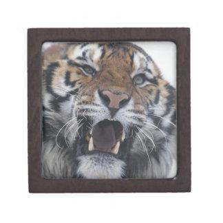Siberian Tiger Snarling Gift Box
