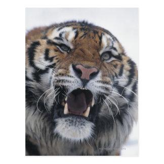Siberian Tiger Snarling Postcard