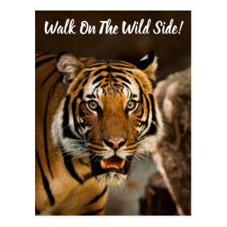 Siberian Tiger Walk on the Wild Side Postcard