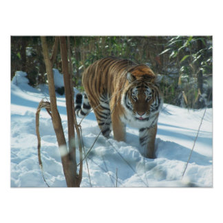 Siberian Tiger Walking In Snow Poster