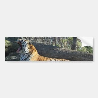 Siberian Tiger Yawning Bumper Sticker