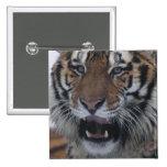 Siberian Tiger Yawning Button