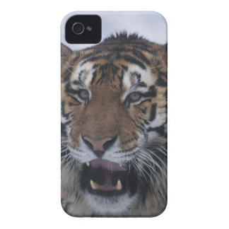 Siberian Tiger Yawning iPhone 4 Case-Mate Cases