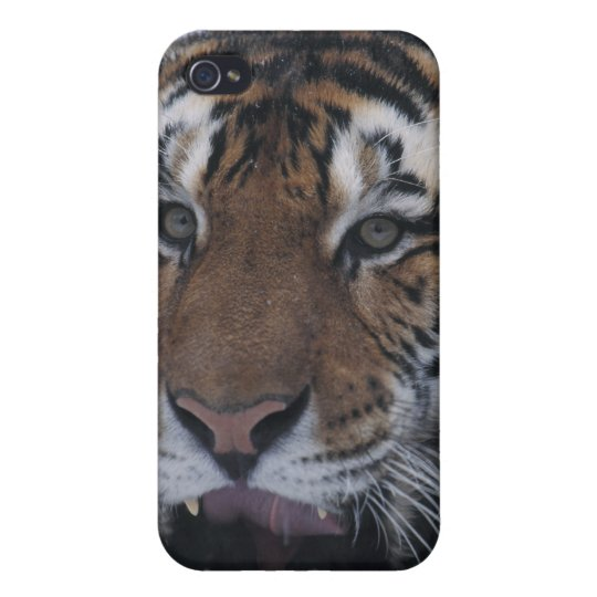 Siberian Tiger Yawning iPhone 4 Cover