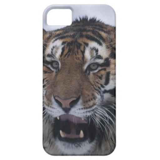 Siberian Tiger Yawning iPhone SE/5/5s Case