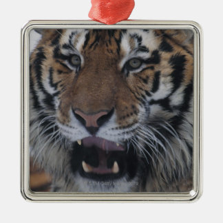 Siberian Tiger Yawning Metal Ornament