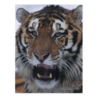 Siberian Tiger Yawning Postcard