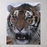 Siberian Tiger Yawning Poster