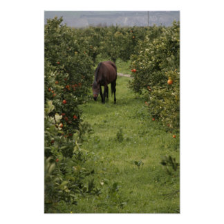 Sicilian Horse in Orange Grove Print