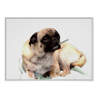 Sick pug with a thermometer poster