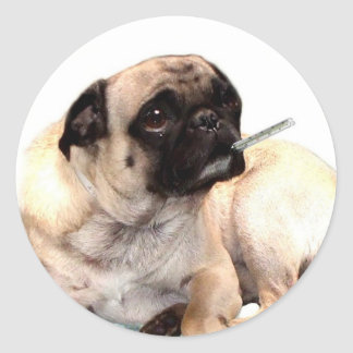 Sick pug with thermometer stickers