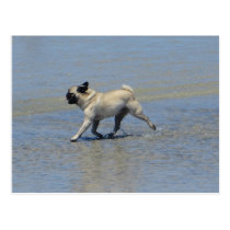 Sid the Pug at Dog Beach, San Diego, CA Postcard