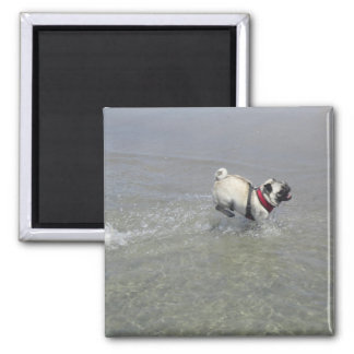 Sid the Pug's Beach Photo - Sid the Puggy Rocket Magnet