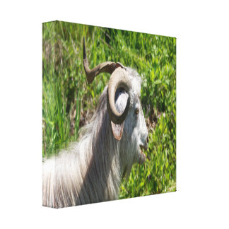 Side View of A Billy Goat Grazing Canvas Print