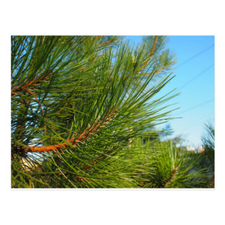 Side view of a pine branch with long needles close postcard