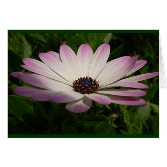 Side View of A Pink and White Osteospermum Card