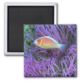 Side view of a pink anemone fish, Okinawa, Japan 2 2 Inch Square Magnet