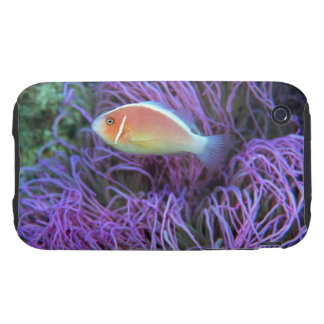 Side view of a pink anemone fish, Okinawa, Japan 2 iPhone 3 Tough Cover