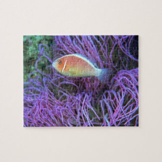 Side view of a pink anemone fish, Okinawa, Japan 2 Jigsaw Puzzle