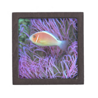 Side view of a pink anemone fish, Okinawa, Japan 2 Keepsake Box