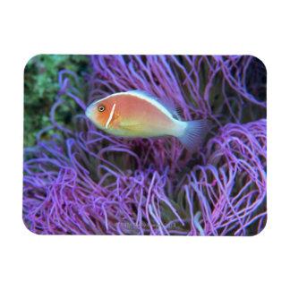 Side view of a pink anemone fish, Okinawa, Japan 2 Rectangular Photo Magnet