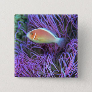 Side view of a pink anemone fish, Okinawa, Japan Button