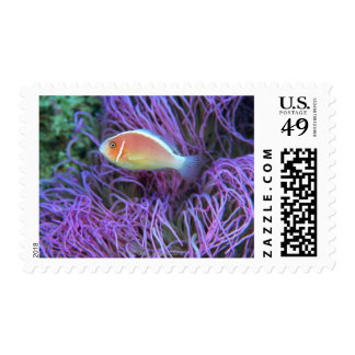 Side view of a pink anemone fish, Okinawa, Japan Postage