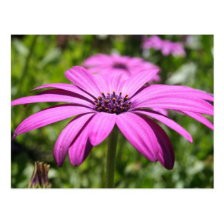 Side View Of A Purple Osteospermum With Garden Bac Postcard