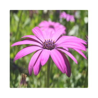Side View Of A Purple Osteospermum With Garden Metal Print