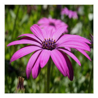Side View Of A Purple Osteospermum With Garden Poster