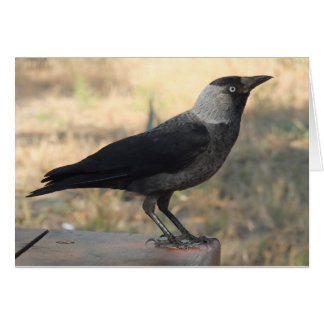 Side View Of A Wild Jackdaw Card