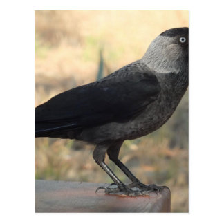 Side View Of A Wild Jackdaw Postcard