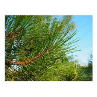 Side view of a young pine tree branch with long ne postcard