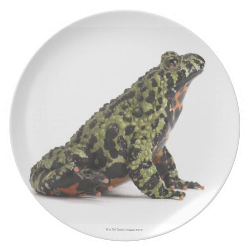 Side View of an Oriental Fire Bellied Toad Dinner Plates