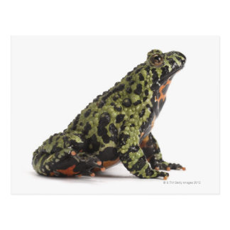 Side View of an Oriental Fire Bellied Toad Postcard
