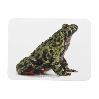 Side View of an Oriental Fire Bellied Toad Rectangular Magnets