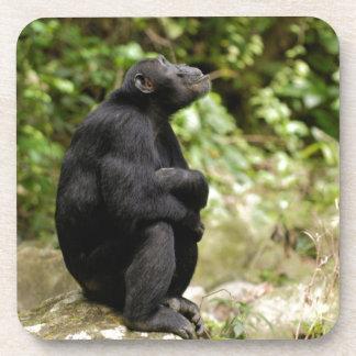 Side View Of Chimpanzee (Pan Troglodytes) Coaster