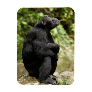 Side View Of Chimpanzee (Pan Troglodytes) Rectangular Photo Magnet