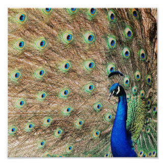 Side View Peacock Print