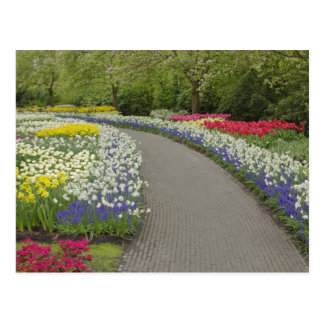 Sidewalk pathway through tulips and daffodils, 2 postcard