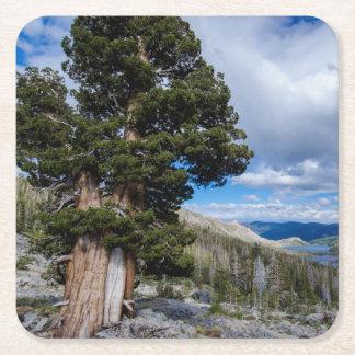 Sierra Juniper and Evergreen Trees 2 Square Paper Coaster