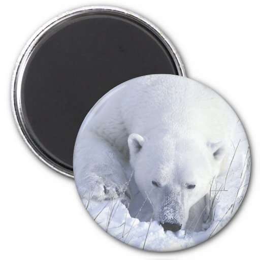 Siesta del oso polar imán redondo 5 cm