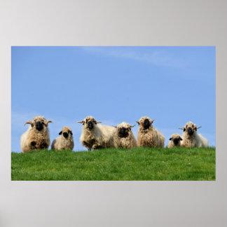 siete ovejas curiosas del rasta póster