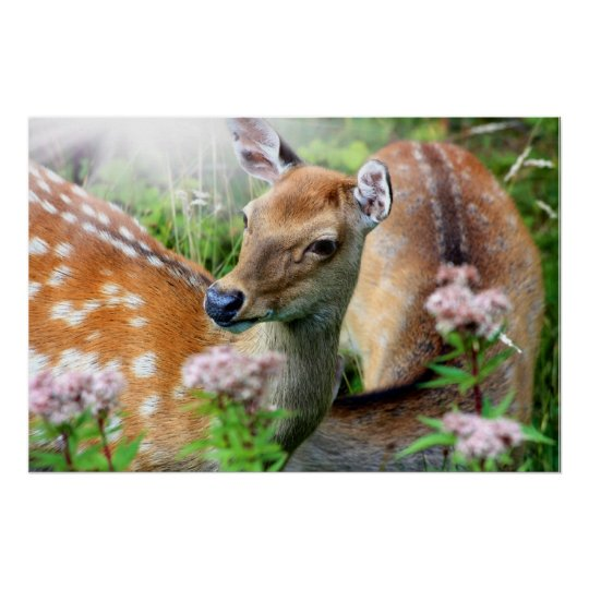 Sika deer close up in the wild poster